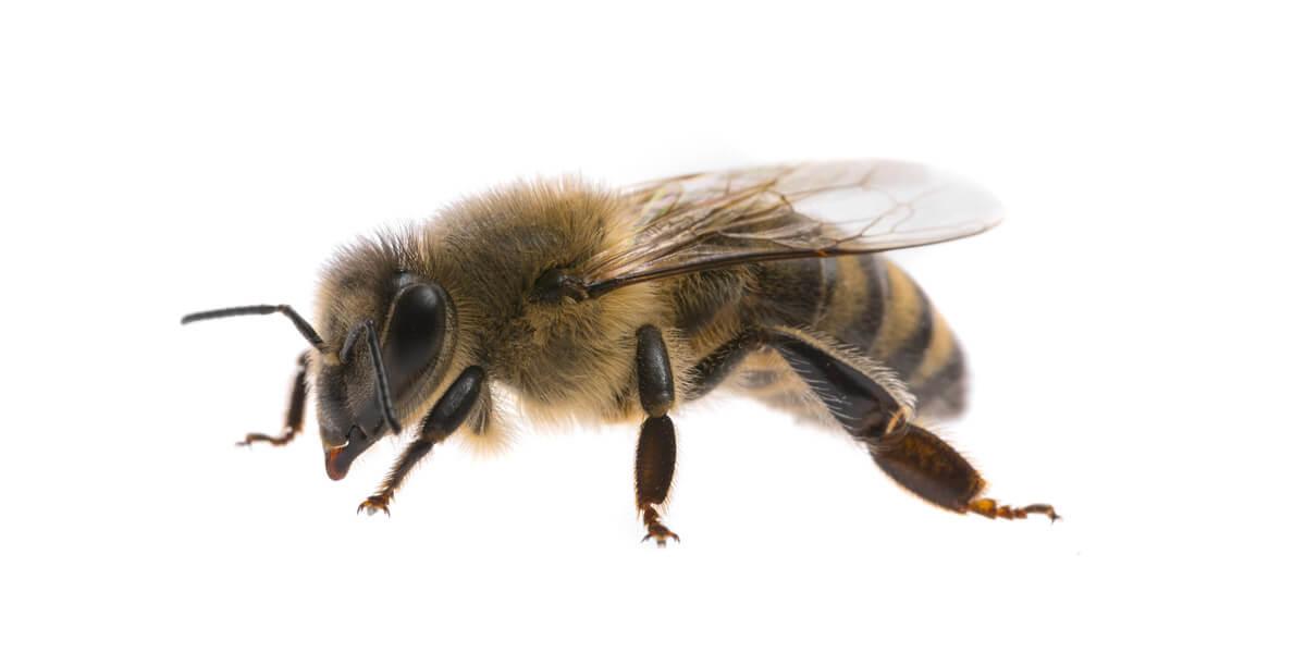 buck bienen, honigbienen, arbeiterin