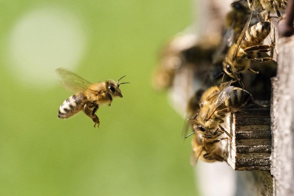 buck bienen, honigbienen