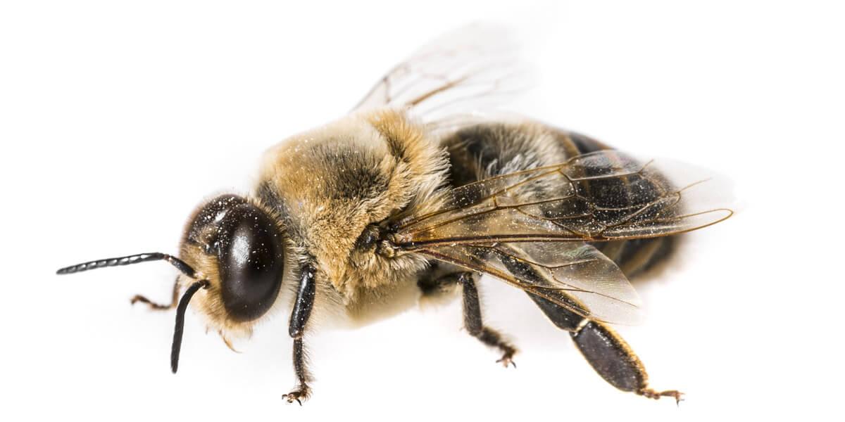 buck bienen, honigbienen, drohne