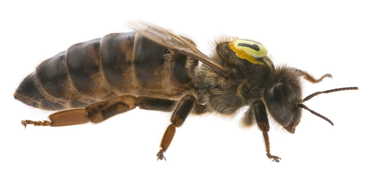 buck bienen, honigbienen, königin
